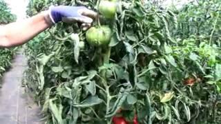 Tomato Q&A