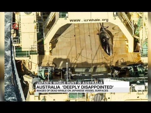 Japan's whale hunt in Australia