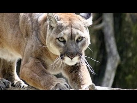4a0c3500d145a Puma vs Lynx Wild Animals Fighting - YouTube