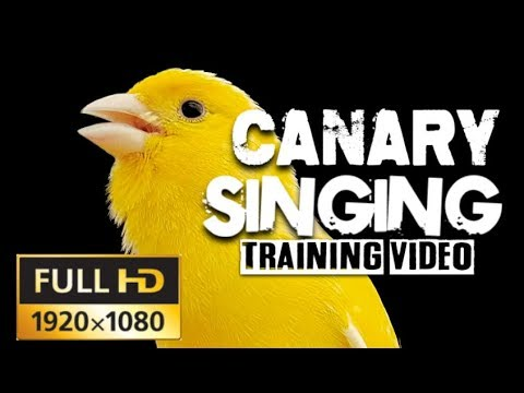 4K CANARY SINGING The Most Beautiful Canary video on youtube