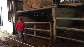 Dimanche c'est vaches