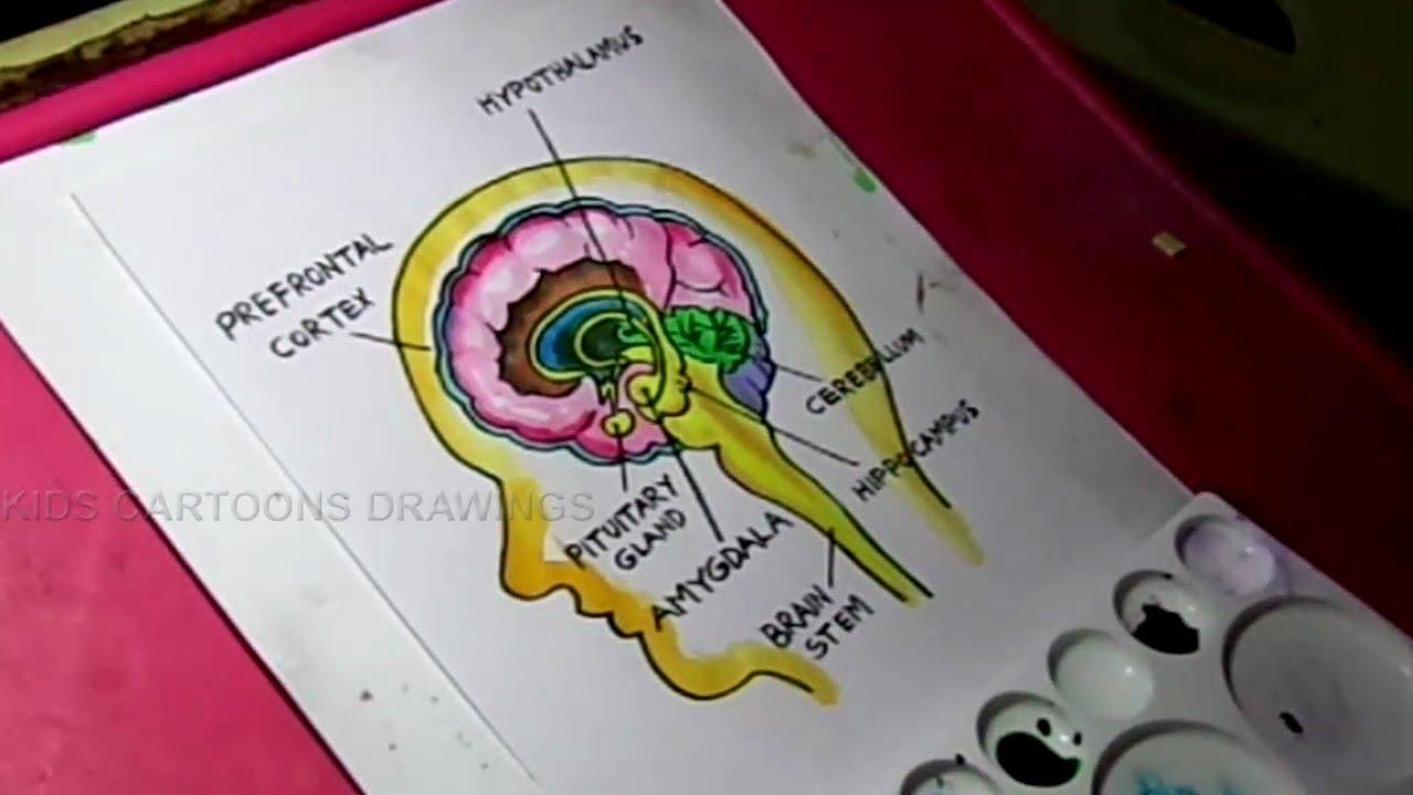 How To Draw Human Brain Amygdala Anatomy Drawing For Kids Youtube