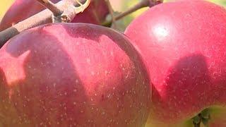 К уборке летних сортов яблок приступили на Кубани