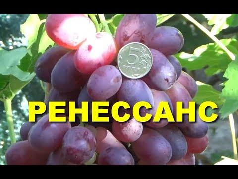 Виноград Ренессанс