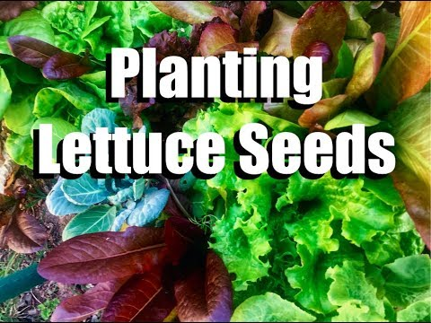 Planting Lettuce -Transitioning from Warm Weather Veggies to Cool Weather Veggies // Fall Garden #2