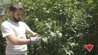 How to Prune Your Tree or Shrub