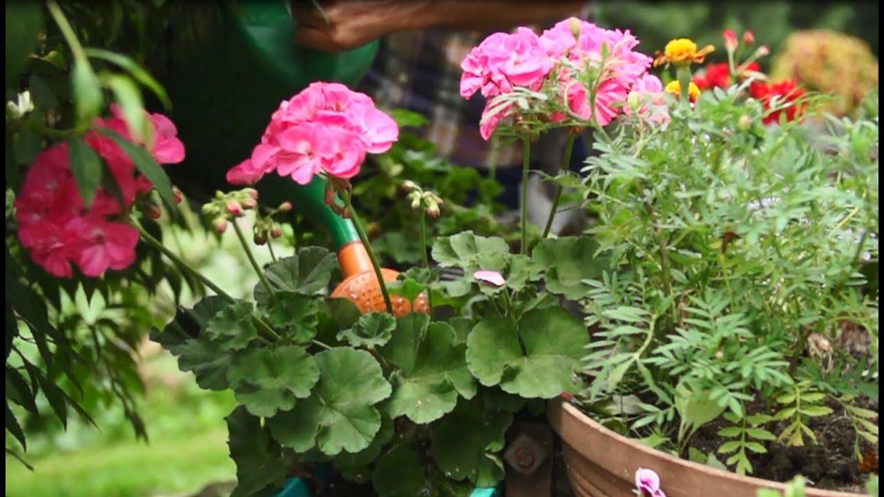 Kwiaty Balkonowe Jak Pielegnowac Surfinie I Pelargonie Youtube
