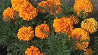 видео Облепиха » Садоводу, дачнику, огороднику.