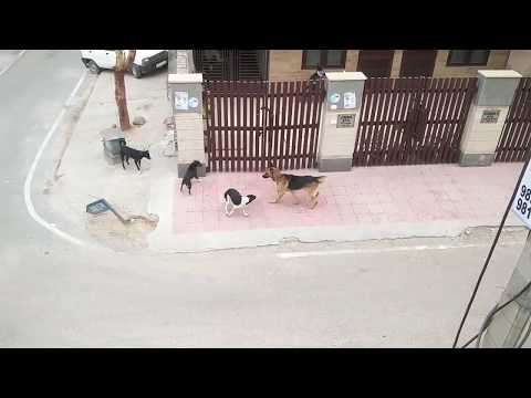 5 Street Dogs Vs Calm German Shepherd - India