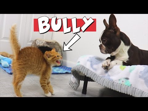 Kittens won't stop bullying Boston Terrier Puppy | TRY NOT TO LAUGH