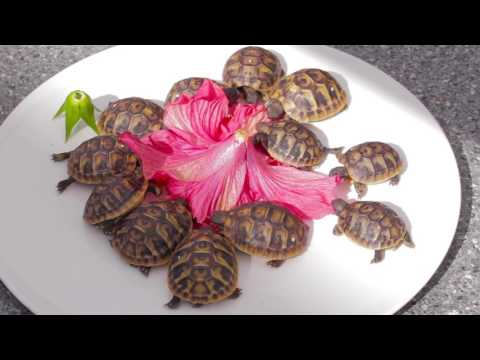 Baby Tortoises Nibble On Hibiscus Flower