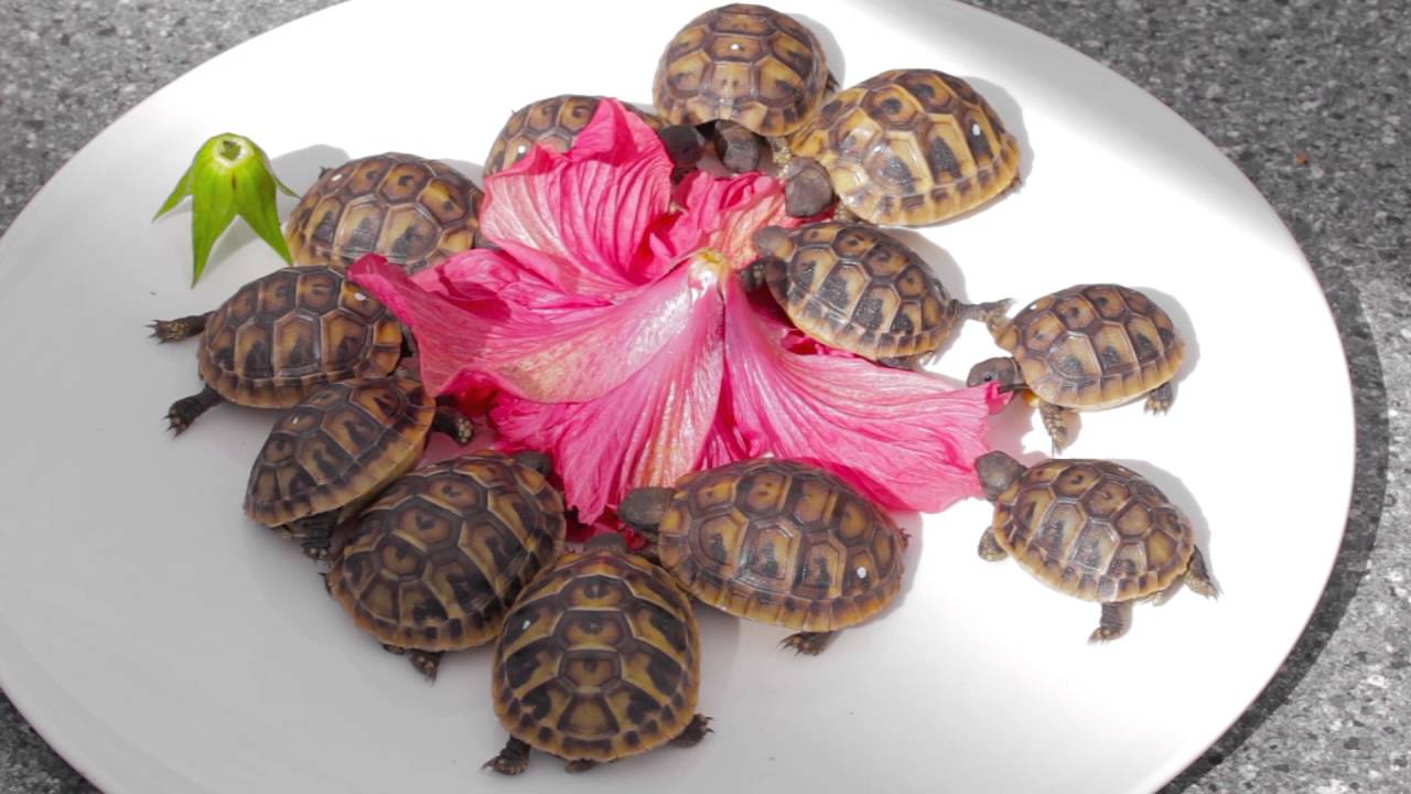 Baby Tortoises Nibble On Hibiscus Flower Youtube