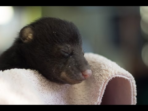 Mike - A One Month Old Orphaned Baby Black Bear in New Jersey