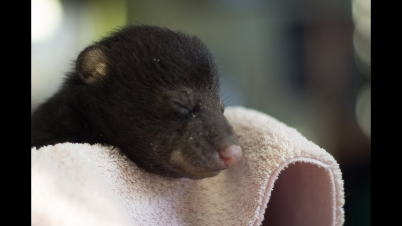 Baby black bears playing