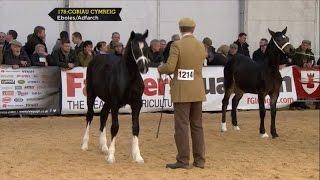 Cobiau Cymreig - Eboles/Adfarch - Welsh Cobs Filly or Gelding Foal