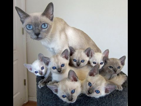 Tonkinese Cat and Kittens | Too Cute and Friendly Breed