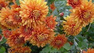 Хризантемы.Обрезка хризантем сорта дубок(Хризантемы хорошо смотрятся на садовом участке, но только в том случае, если они имеют красивые стебли...., 2015-06-20T17:55:55.000Z)