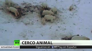 Más de 50 osos polares hambrientos invaden una aldea de Rusia