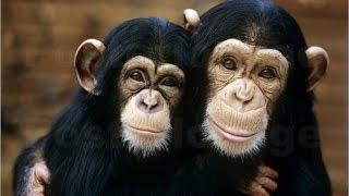 Im Königreich der Schimpansen (Doku)