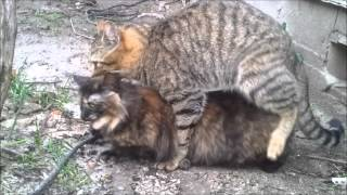Cats mating in the Countryside (part 1)
