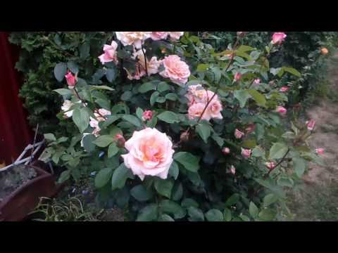 Роза Компешн.полуплетистая высота не более 2 м.д  Июль 2017  # мой сад # розы
