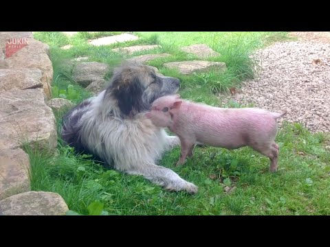 Canine takes pig beneath its wing