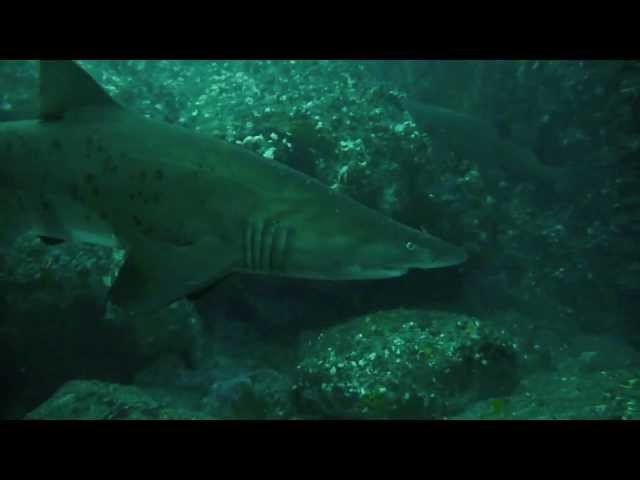 OzDive in Australia - Diving in Nelson Bay (2012)