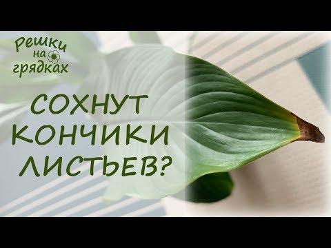 Почему сохнут кончики листьев у комнатных растений? Что делать?