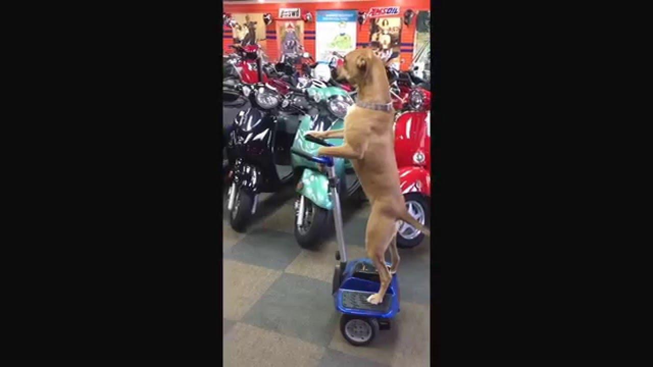 Dog Rides Hoverboard CRAZY FunnyDogTV