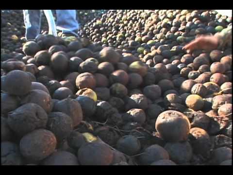Black Walnut Harvest in the Ozarks - YouTube