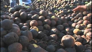 Black Walnut Harvest in the Ozarks