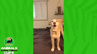 Dog Howls as if Saying Woo Hoo | Animals Doing Things Clips