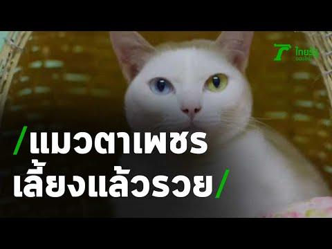 แมวตาเพชร พันธุ์ขาวมณี-เลี้ยงแล้วรวย | 13-11-63 | ห้องข่าวหัวเขียว