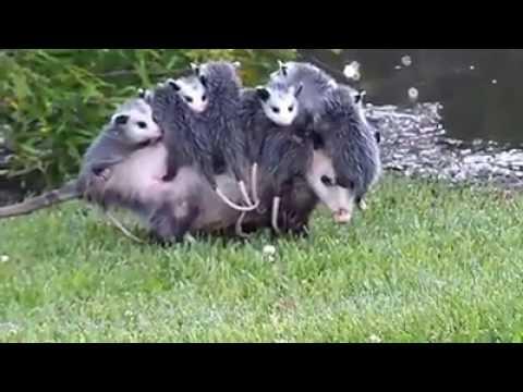 Mama Opossum Carrying Her Kids Youtube