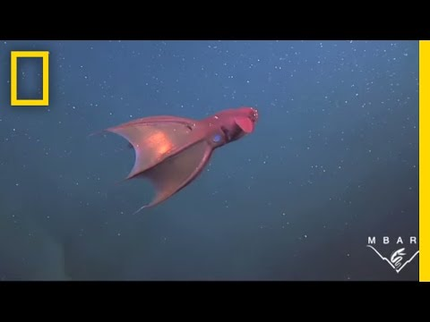 Vampire Squid Turns Itself 'Inside Out' | National Geographic