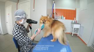 Как подстричь шпица за 30 секунд
