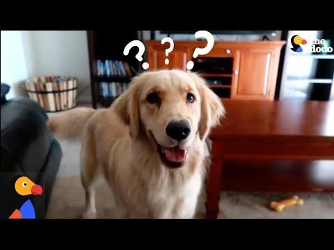 Smart Service Dog Makes Hilarious Mistake The Dodo Youtube