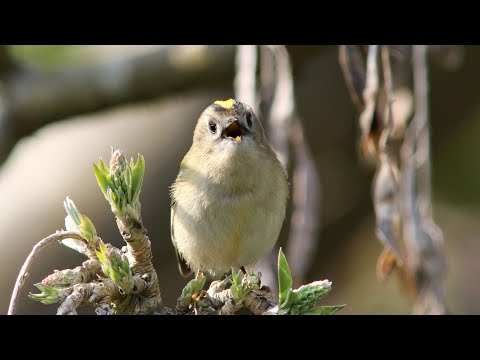 Goldcrest singing