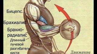 Забытые, но Сильные мышцы! брахиалис и брахирадиалис Как тренировать