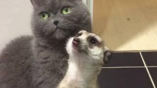 Дружба суриката и кота