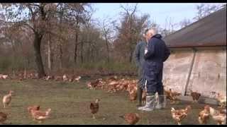 """FLASH CONSO """"Un label rouge pour le poulet jaune des Landes"""""""