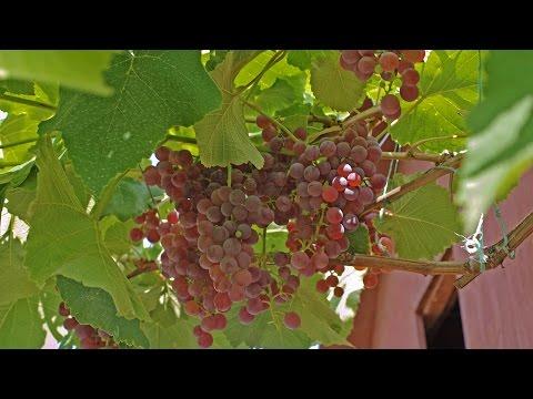 Виноград Рилайнс пинк сидлис, красный виноград, без семян