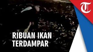 Download Video Gempa di Bali, Viral Video Ikan-ikan Lompat ke Daratan Diduga Pertanda Alam MP3 3GP MP4