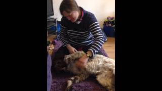 English Springer Spaniel Buffy And Mctimoney Chiropractic
