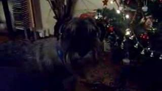 Alfie The Standard Schnauzer And The Xmas Tree