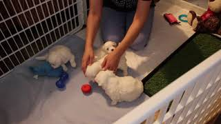 Coton Puppies For Sale - Emma 8/4/20