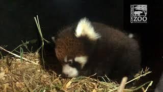 Two Red Panda Cubs - Cincinnati Zoo