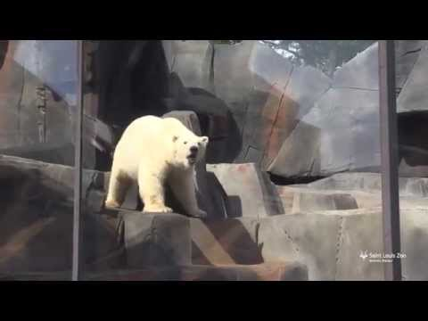 Polar bear Kali explores his new habitat at Saint Louis Zoo