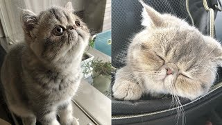 Cute Exotic Shorthair Grey Cat