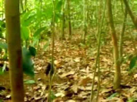 Pikat Ayam Hutan - Pikat LK 3